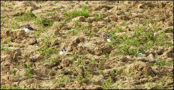 Ringed Plovers 050520