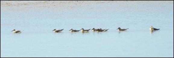 Sanderlings 260520
