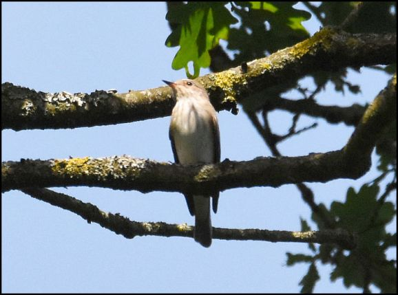 Spotted Flycatcher 210520