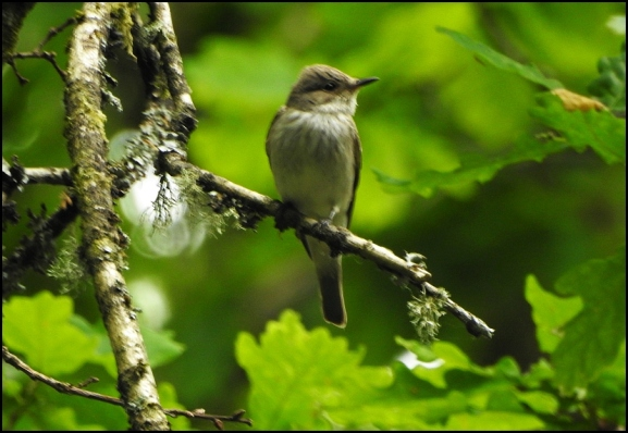 Spotted Flycatcher 270520