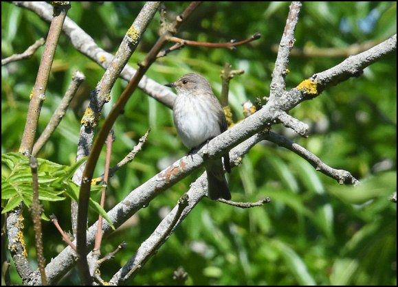 Spotted Flycatcher 290520