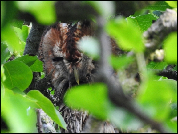 Tawny Owl 040520