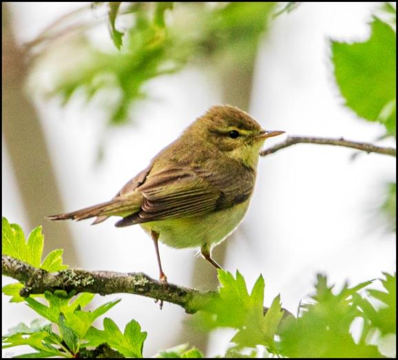 Willow Warbler 100520