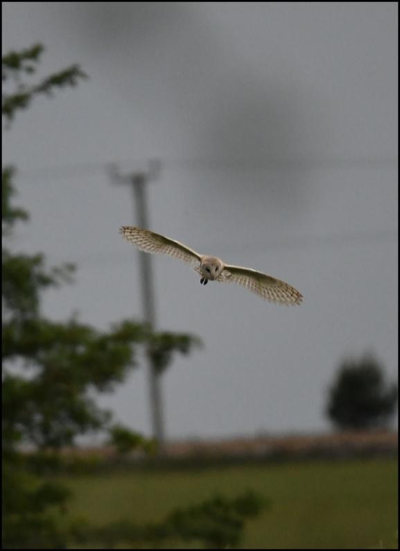 Barn Owl 130620