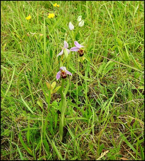 Bee Orchid 130620