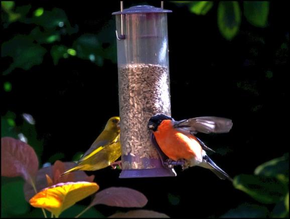 Bullfinch 210620