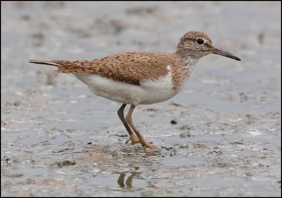 Common Sandpiper 270620