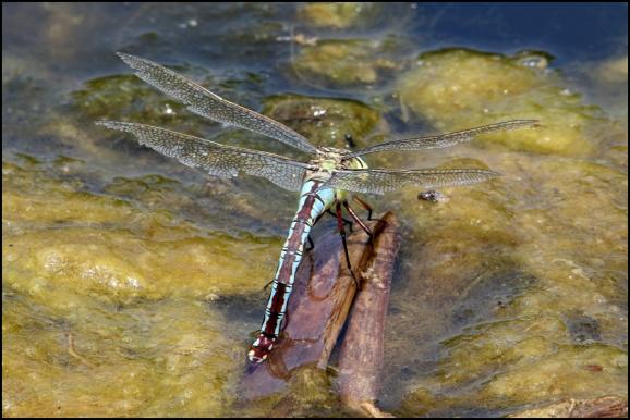 Emperor Dragonfly 260620