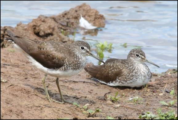 Green Sandpipers 200620