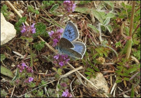 Large Blue 090620