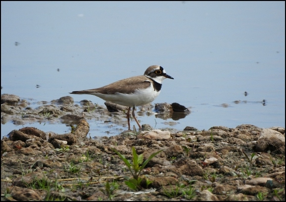 Little Ringed Plover 150620