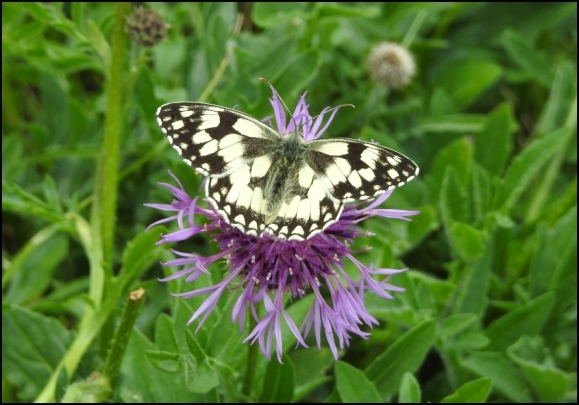 Marbled White 090620