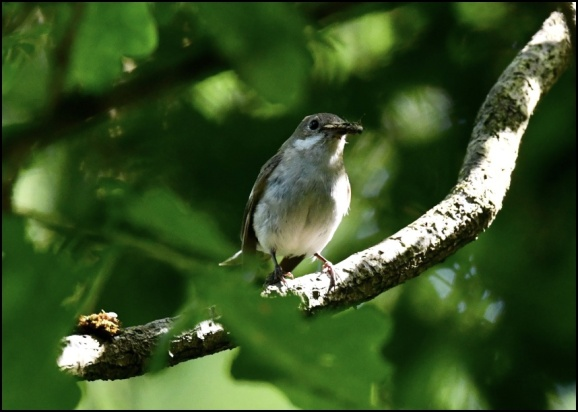 Pied Flycatcher f 220620