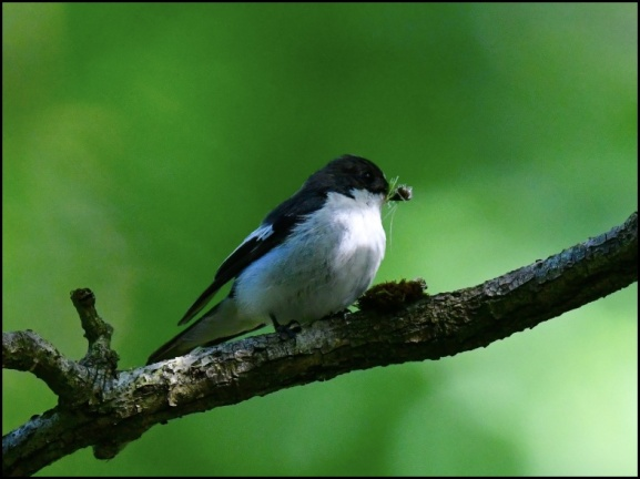 Pied Flycatcher m 220620