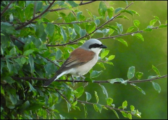 Red-backed Shrike 240620 3