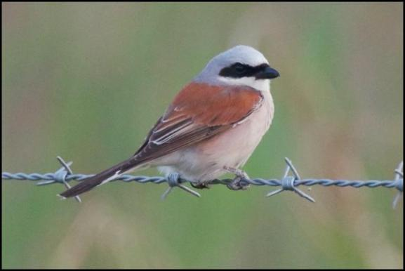 Red-backed Shrike 240620 5