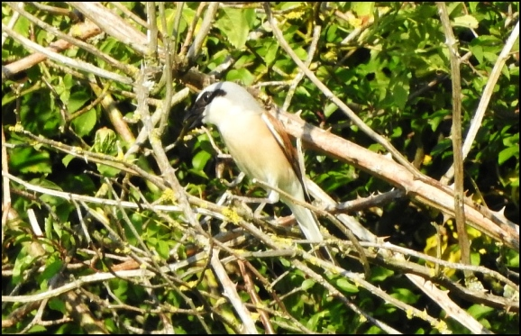 Red-backed Shrike 240620 6