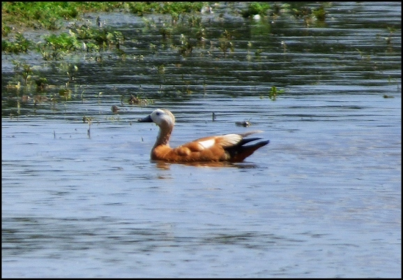 Ruddy Shelduck 220620