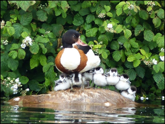Shelducks 110620
