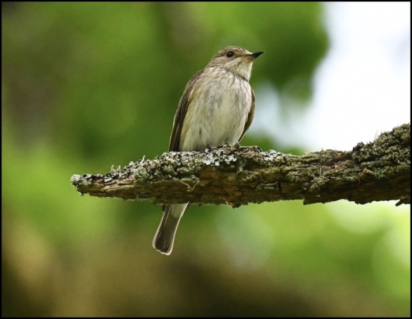 Spotted Flycatcher 080620 1