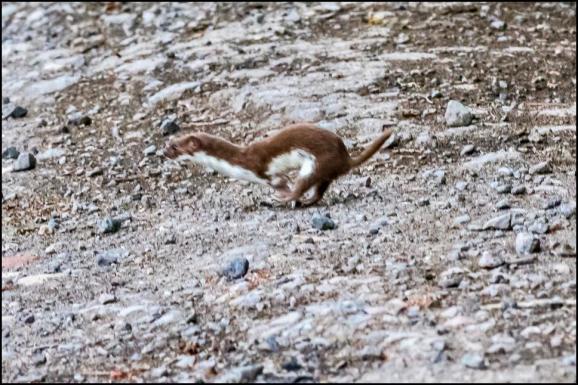 Weasel 160620
