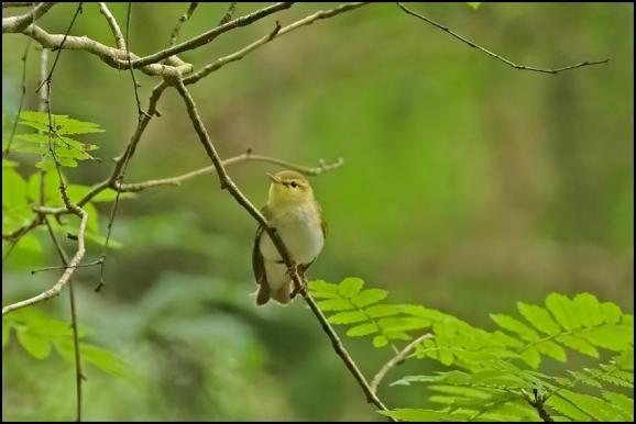 Wood Warbler 160620