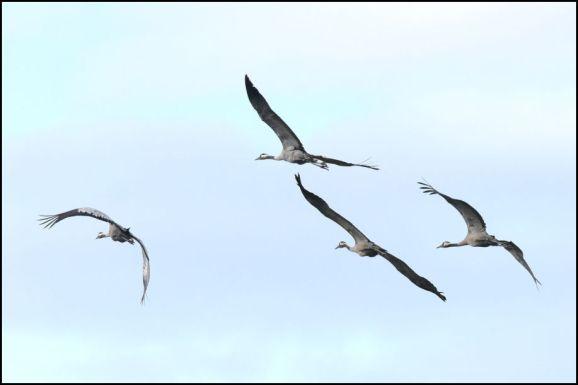 Common Cranes 130720 2