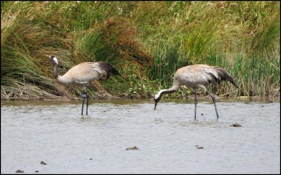 Common Cranes 130720