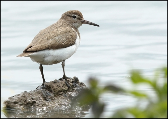 Common Sandpiper 050720