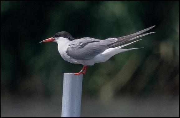 Common Tern 300720