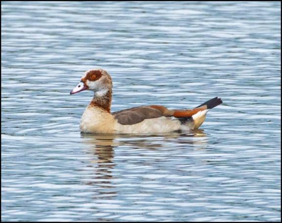 Egyptian Goose 080720
