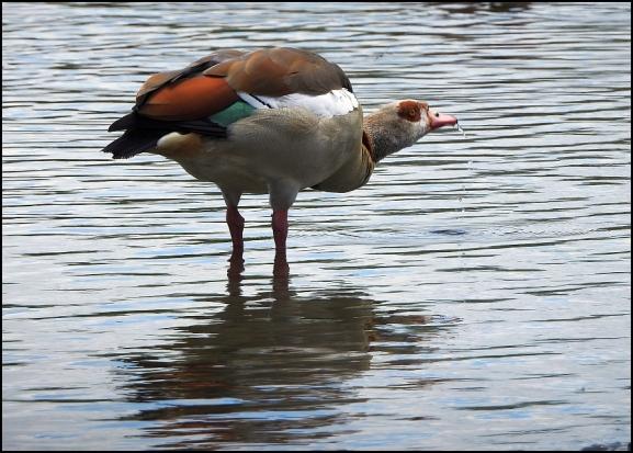 Egyptian Goose 160720