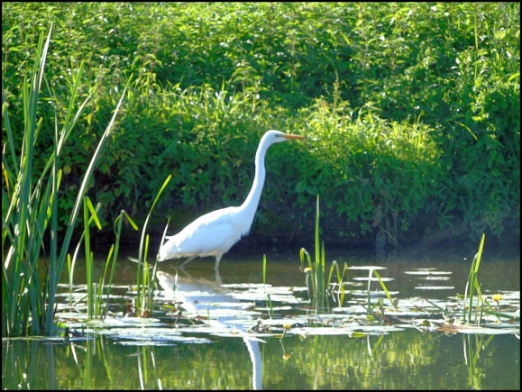 Great White Egret 210720