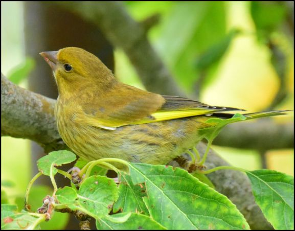 Greenfinch 050720