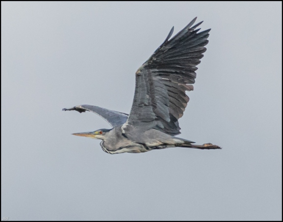 Grey Heron 240720