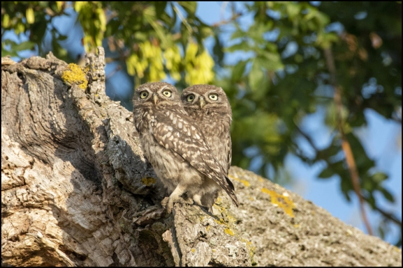 Little Owls 240720 1