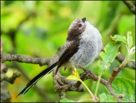 Long-tailed Tit 050720