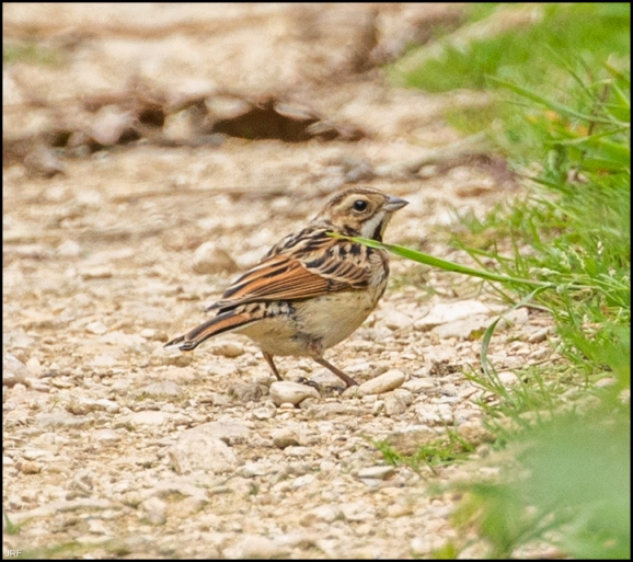 Reed Bunting 060720