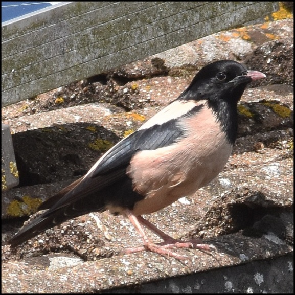 Rose-coloured Starling 190720 2