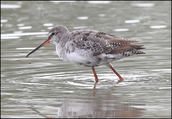 Spotted Redshank 250720
