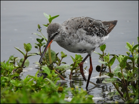 Spotted Redshank 270720 2