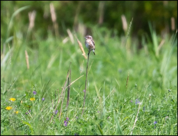 Whinchat 190720