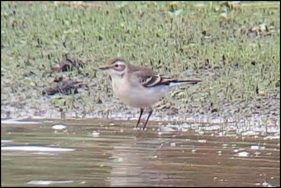 Citrine Wagtail 150820 1