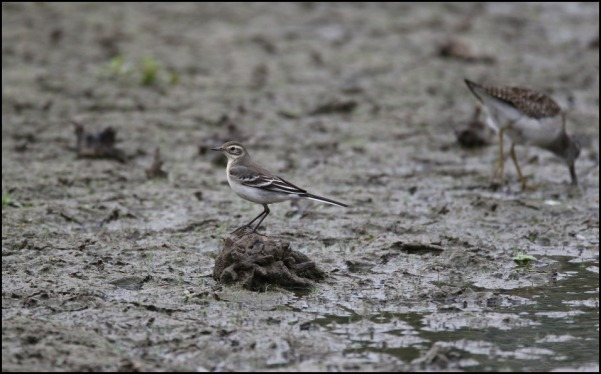 Citrine Wagtail 150820 3
