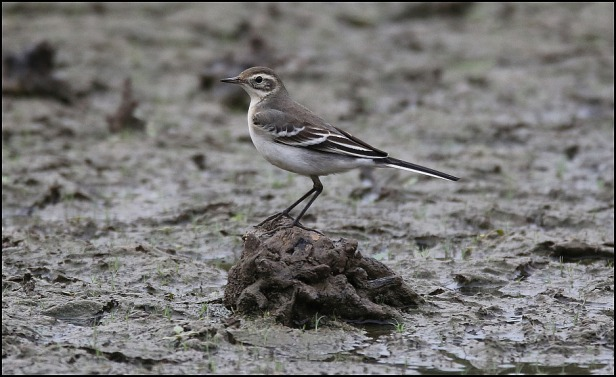 Citrine Wagtail 150820 4