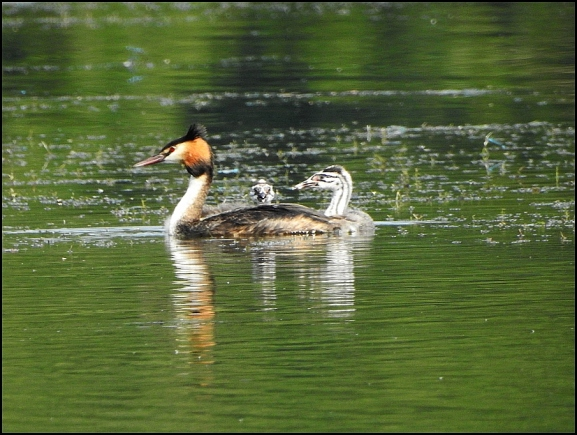Great Crested Grebes 120820