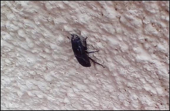 Lesser Stag Beetle 130820