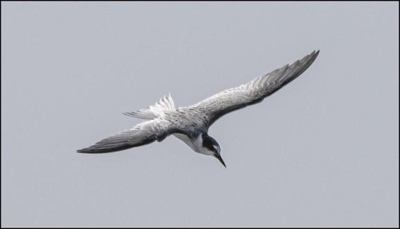 Little Tern 090820 1