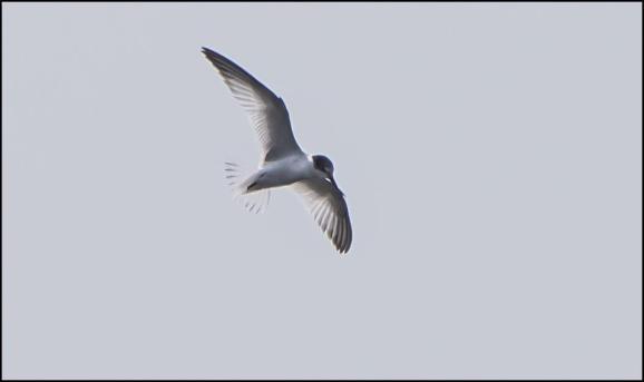 Little Tern 090820 2