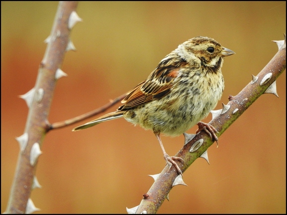 Reed Bunting 060820